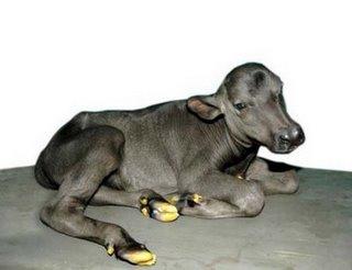 Garima a cloned buffalo calf.